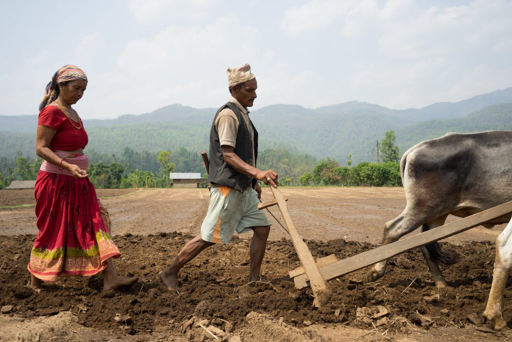 Farmer Dhansa Bhandari (left) sows maize seed while Bikram Daugi (right) ploughs with his oxen in Ramghat, Surkhet, Nepal. (Photo: P. Lowe/CIMMYT)