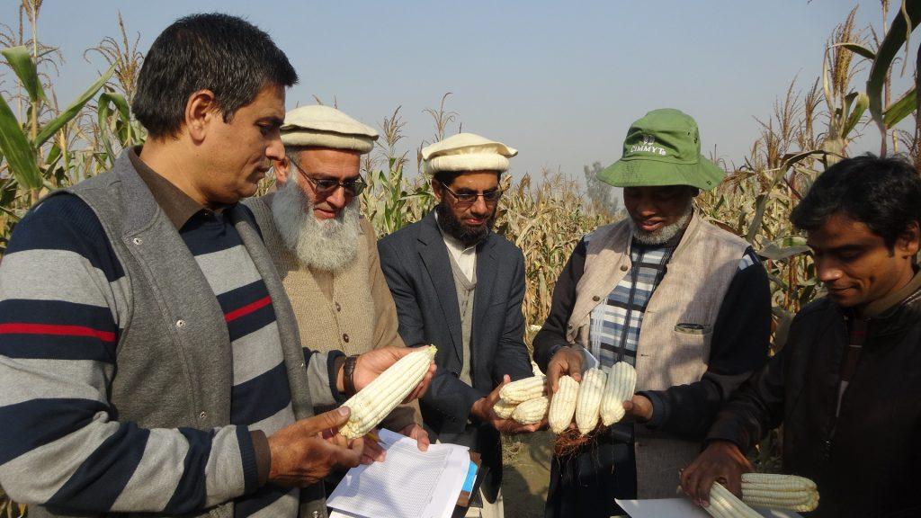 CIMMYT researchers in Pakistan examine maize cobs. (Photo: CIMMYT)
