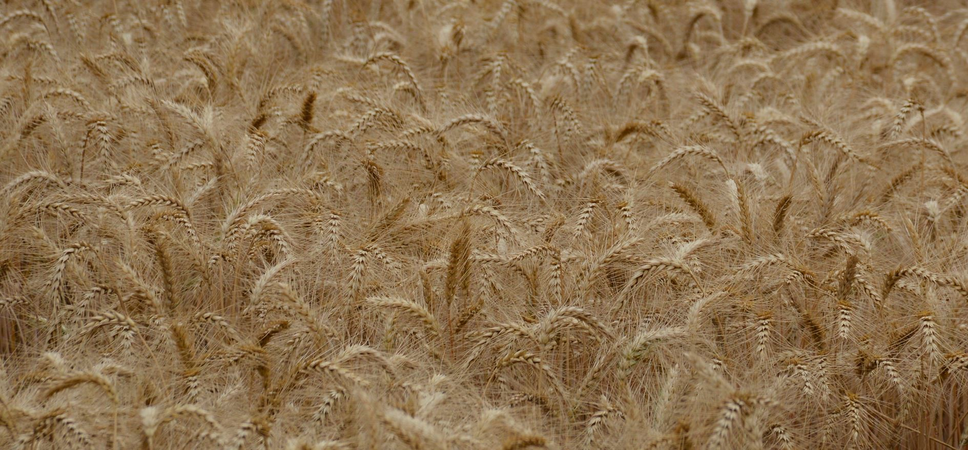 A wheat field in Pakistan, ready for harvest. (Photo: Kashif Syed/CIMMYT)