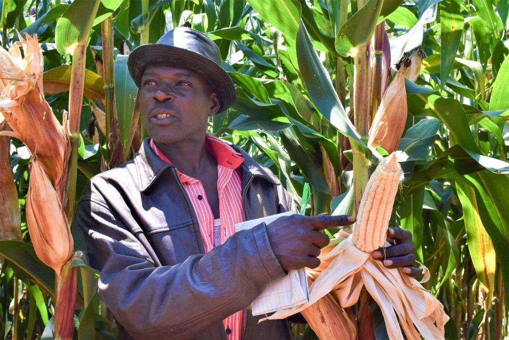 John Njiru on a demo plot of the variety he liked. (Photo: Joshua Masinde/CIMMYT)