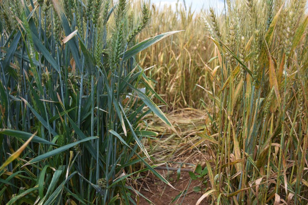 Stem rust resistant (left) and susceptible (right) wheat plants at the stem rust phenotyping facility in Njoro, Nakuru County in Kenya. (Photo: Joshua Masinde/CIMMYT)