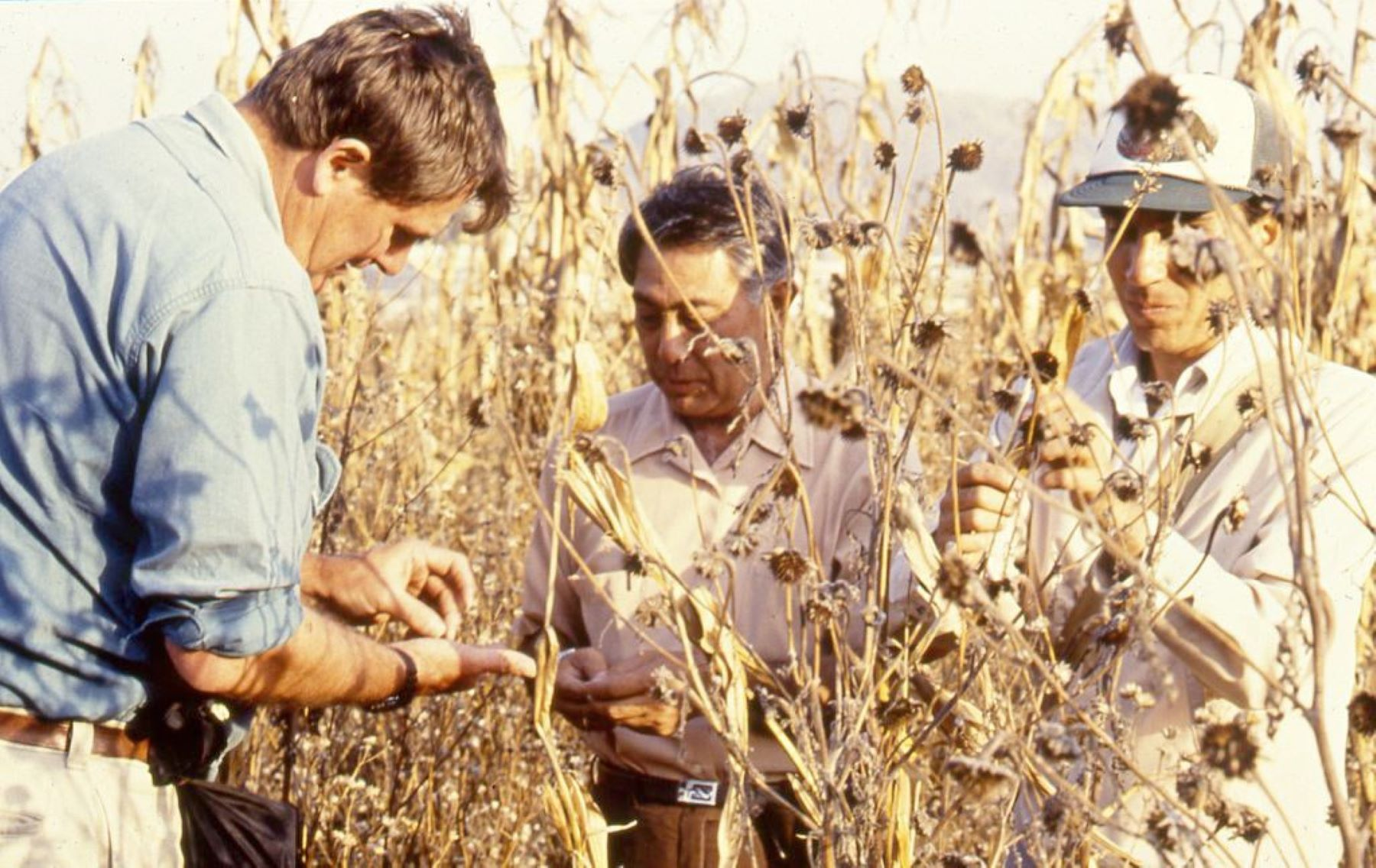 (From left to right) Garrison Wilkes, Angel Kato and Jesus Sanchez, study a teosinte population in Los Reyes, near Texcoco, Mexico, in 1992. (Photo: Mike Listman/CIMMYT)