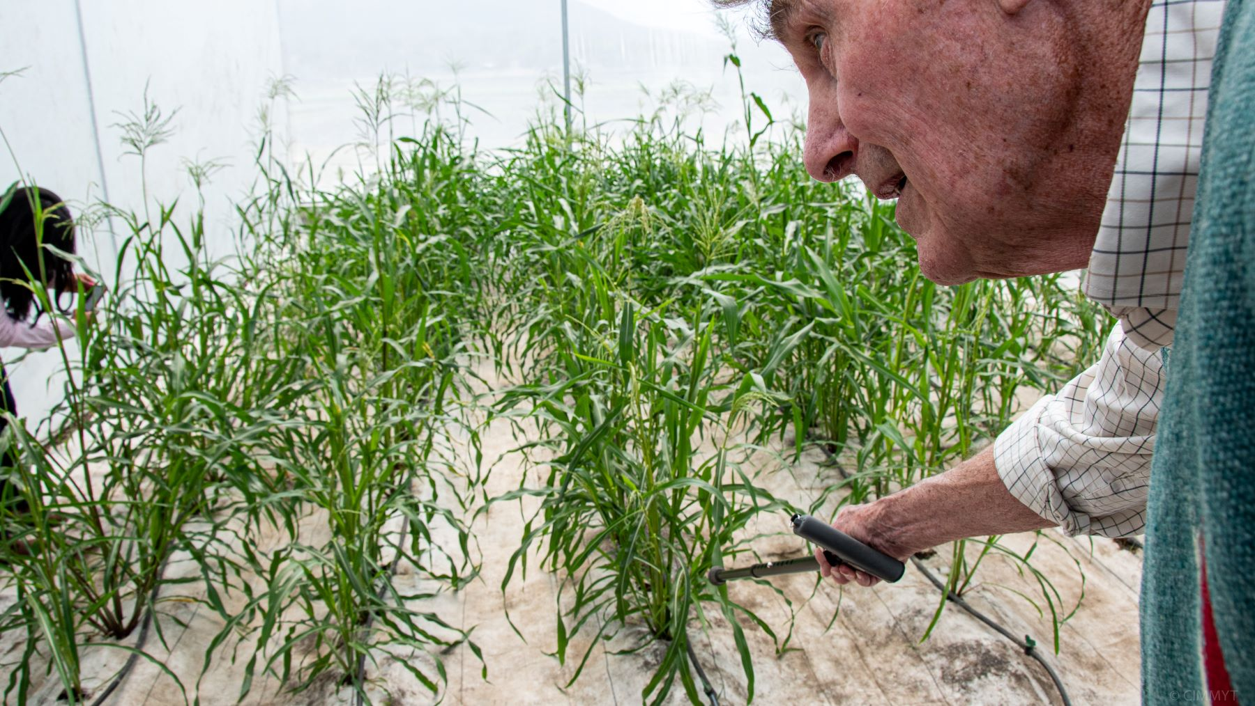 Garrison Wilkes describes characteristic features of the teosinte grown in the greenhouse. (Photo: Alfonso Cortés/CIMMYT)