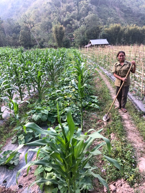 A woman in Oudomxhai, Laos, stands in her maize field damaged by fall armyworm. (Photo: H. Weyerhaeuser/CIMMYT)