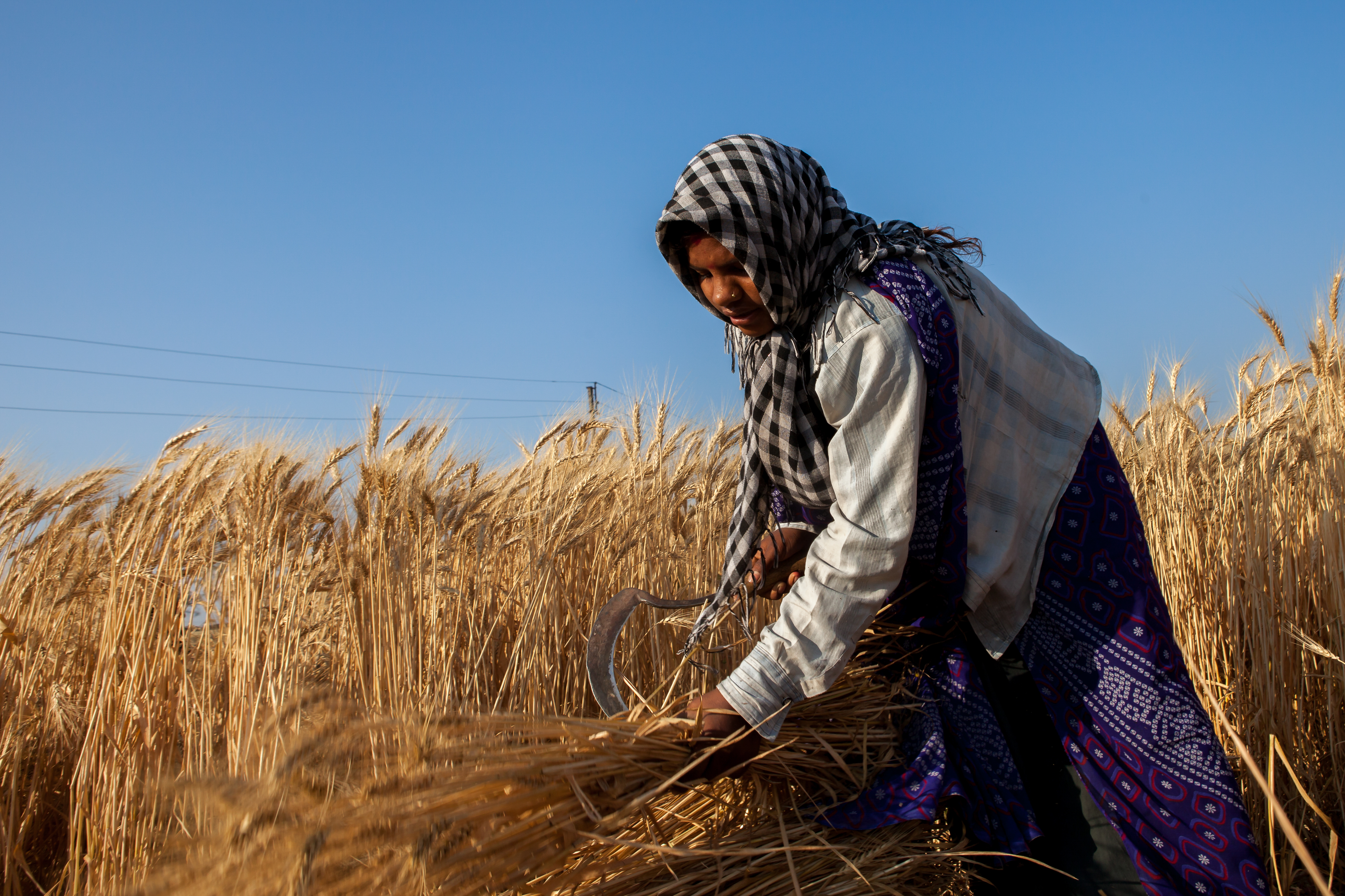 A wheat farmer in India. (Photo: J. Cumes/CIMMYT)