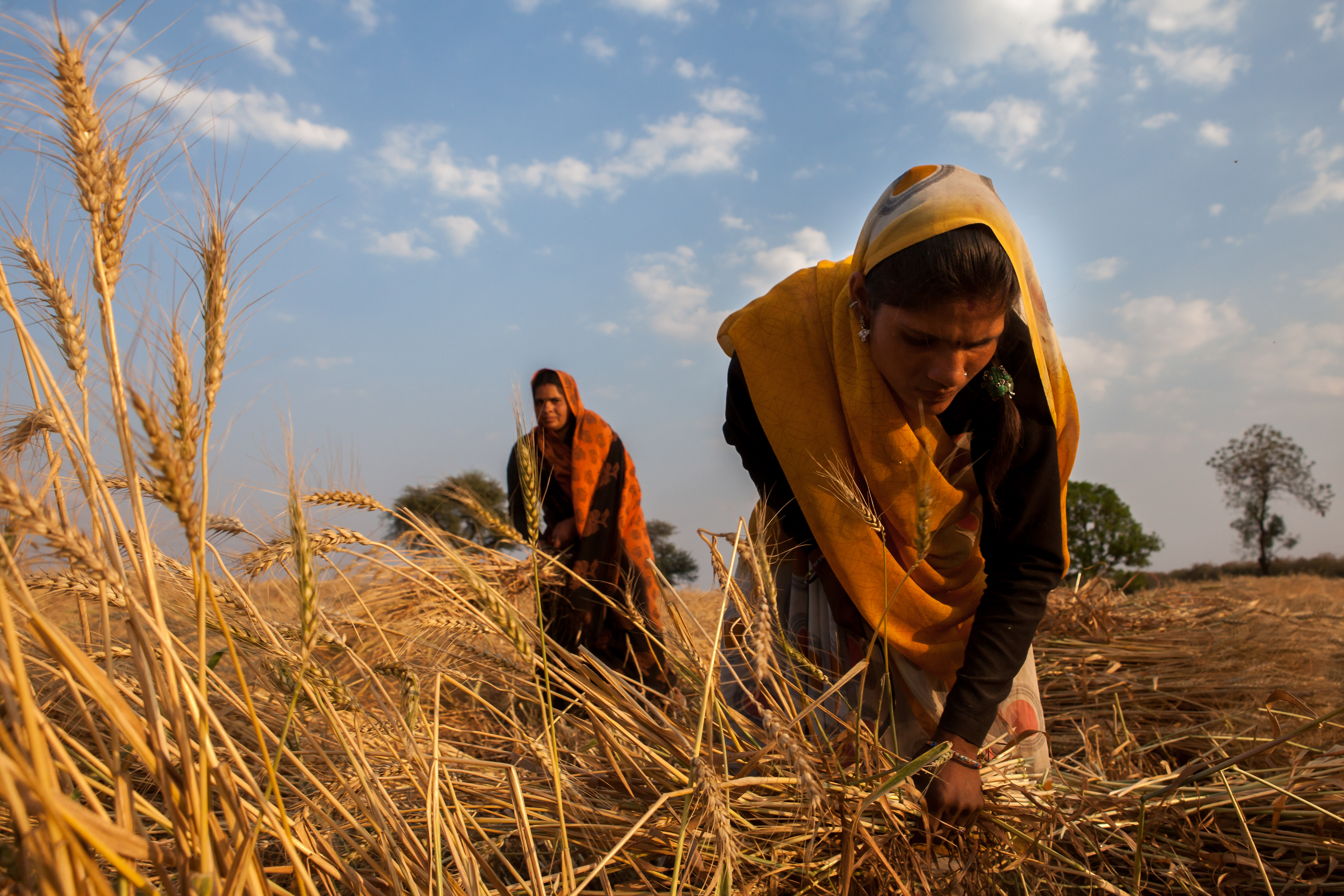 Women harvest wheat in India. (Photo: J. Cumes/CIMMYT)