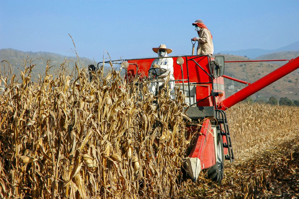 Harvesting maize in Mexico. (Photo: CIMMYT)