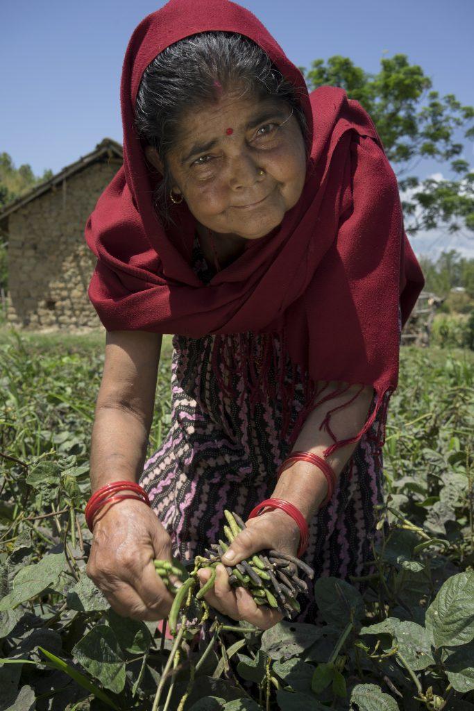 Farmer Chhalu Bhattarai harvests her mung bean crop in Manikapur, Surkhet, Nepal. (Photo: P. Lowe/CIMMYT)
