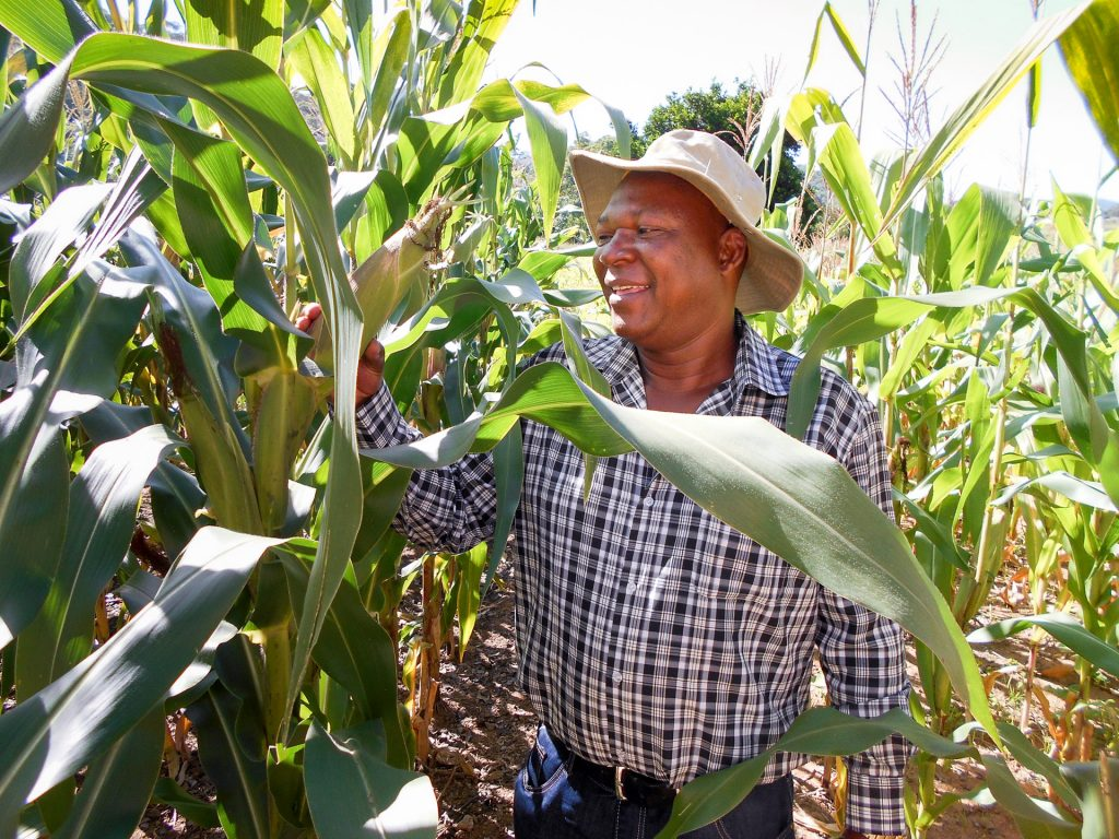 Sign Phiri from CIMMYT inspects maize crops.