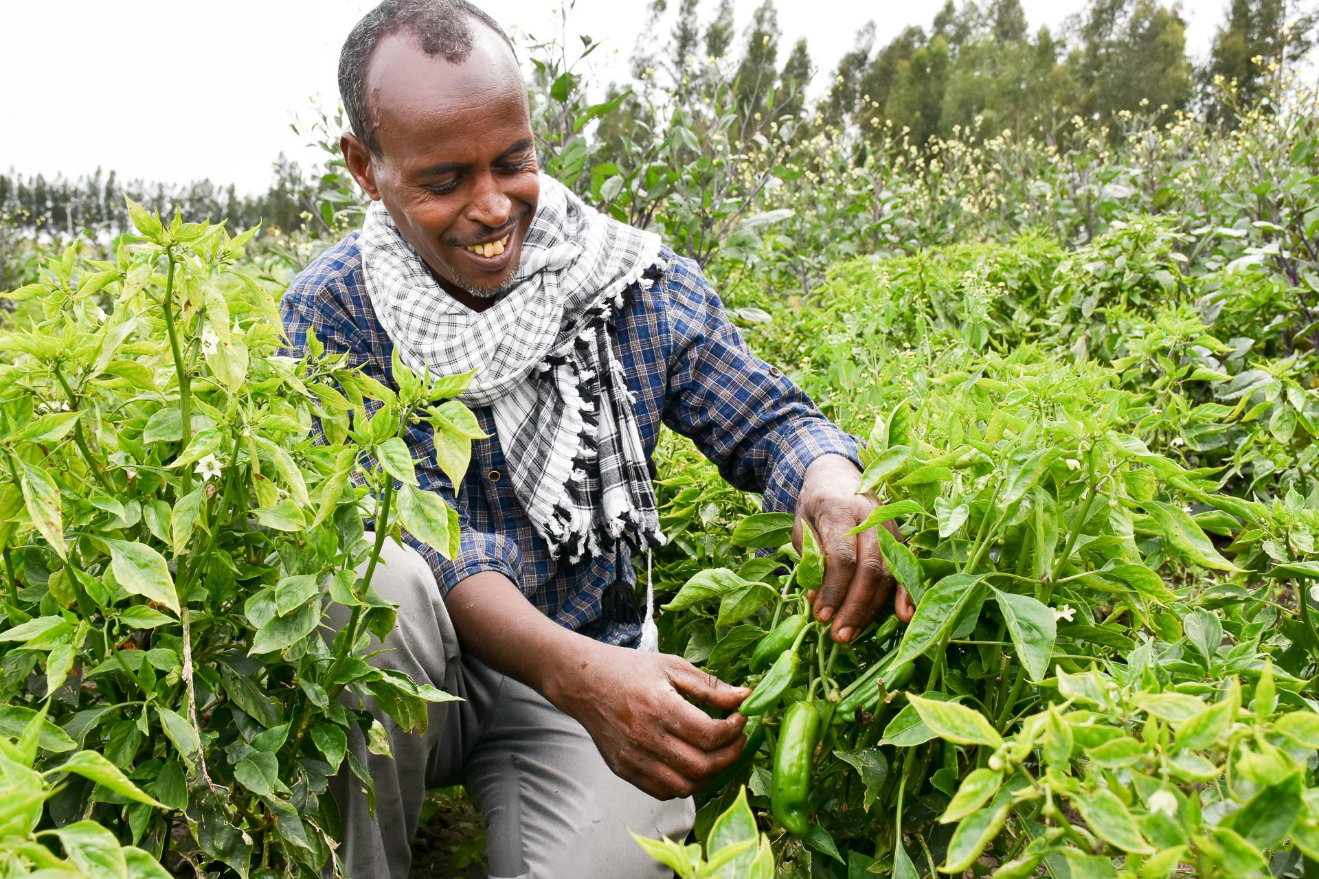Temam Mama checks his crops. (Photo: Simret Yasabu/CIMMYT)