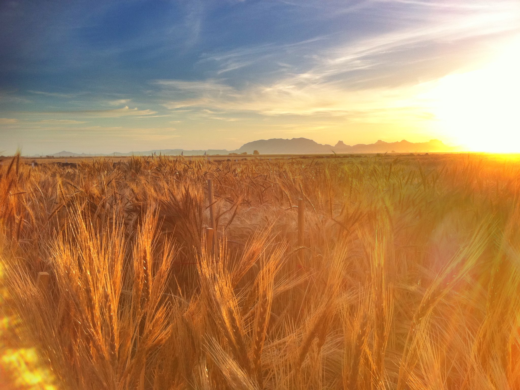 Wheat fields at the Campo Experimental Norman E. Borlaug (CENEB) near Ciudad Obregón, Sonora, Mexico. (Photo: M. Ellis/CIMMYT)