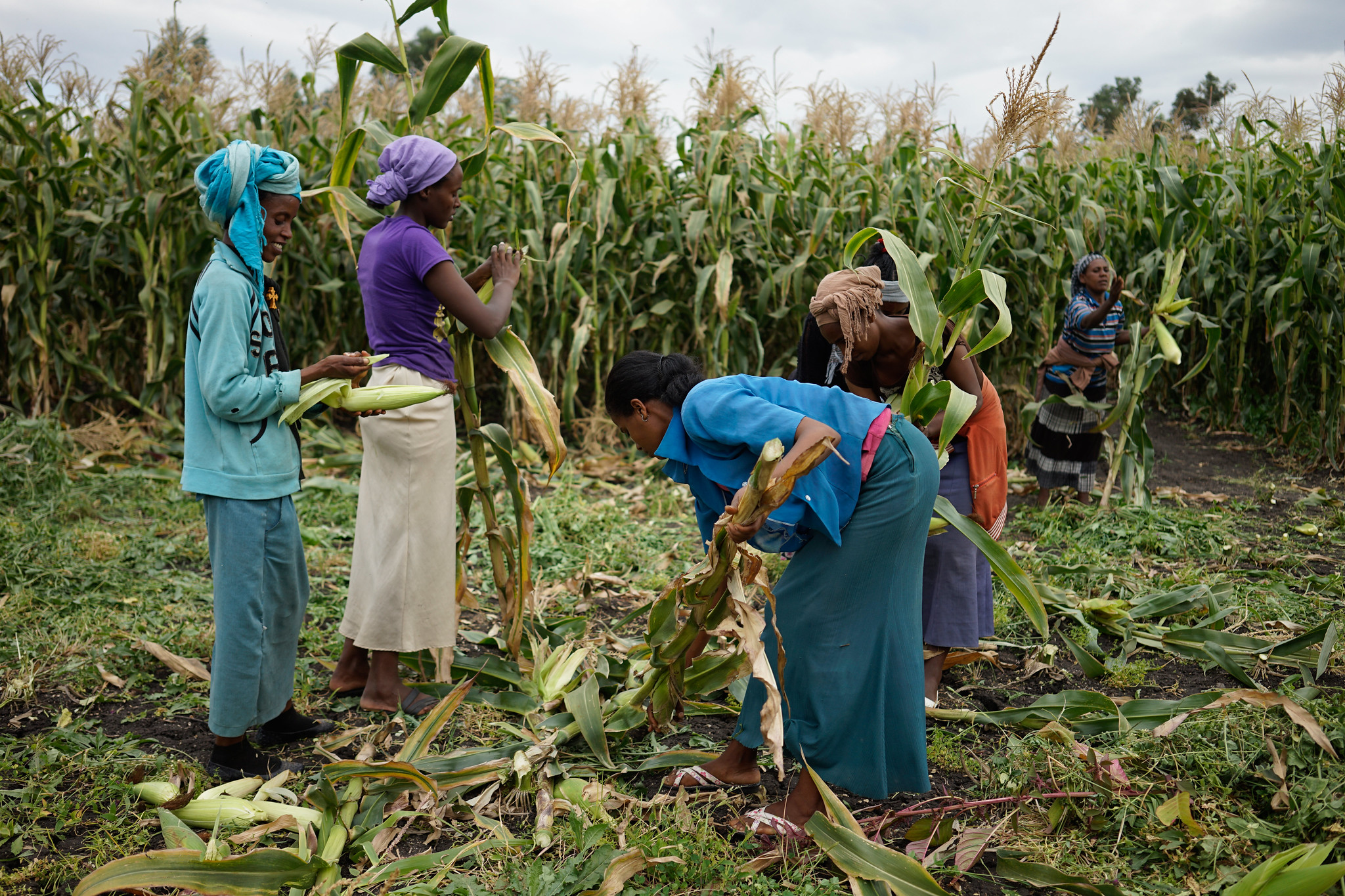Workers harvesting green maize at Ambo Research Center, Ethiopia, 2015. (Photo: CIMMYT/ Peter Lowe)