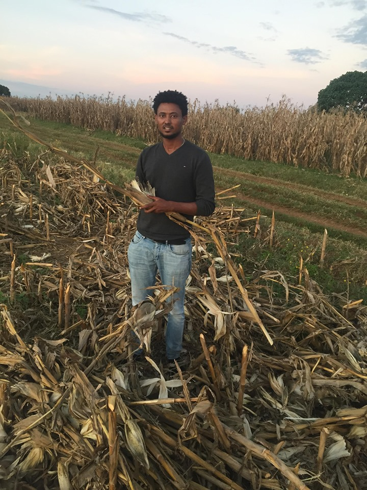 CIMMYT researcher Hailemariam Ayalew examines maize crops during the study. (Photo: Hailemariam Ayalew/CIMMYT)