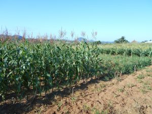 A baby trial with DT maize, cowpea and white sorghum in Chebvute. Photo: C. Thierfelder/CIMMYT