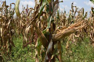 A double cobber maize crop on Alinda Sarah's farm in Masindi, western Uganda. (Photo: Joshua Masinde/CIMMYT)