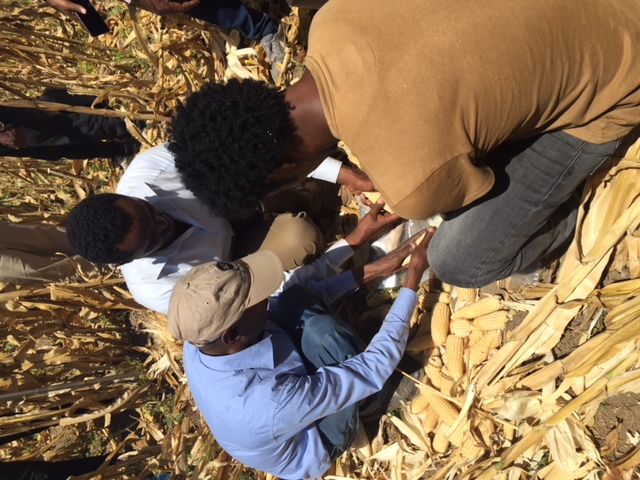 Enumerators manually shelling maize cobs to test grain moisture. (Photo: Hailemariam Ayalew/CIMMYT)