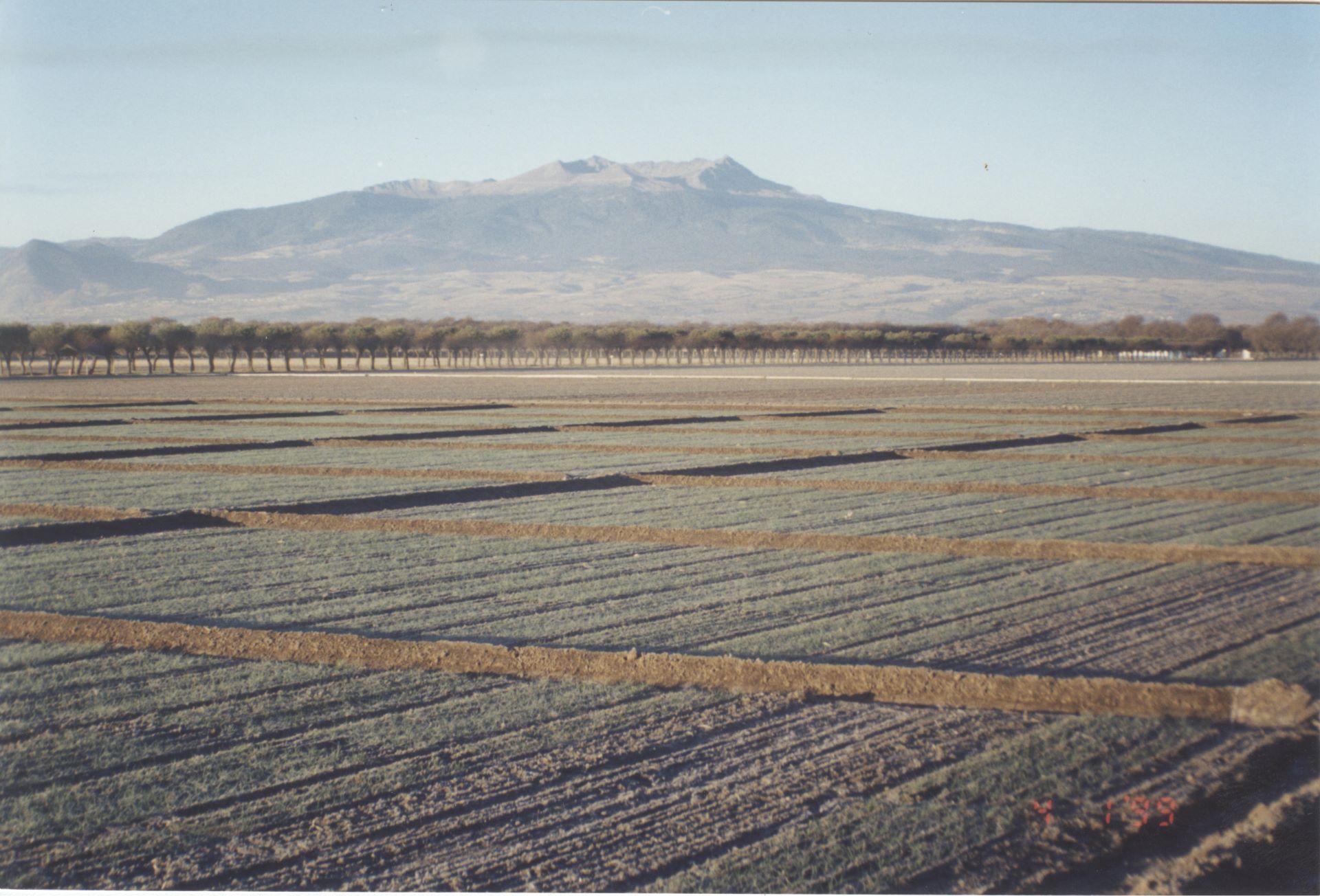 Wheat fields at Toluca station. Nevado de Toluca features in the background. (Photo: Fernando Delgado/CIMMYT)