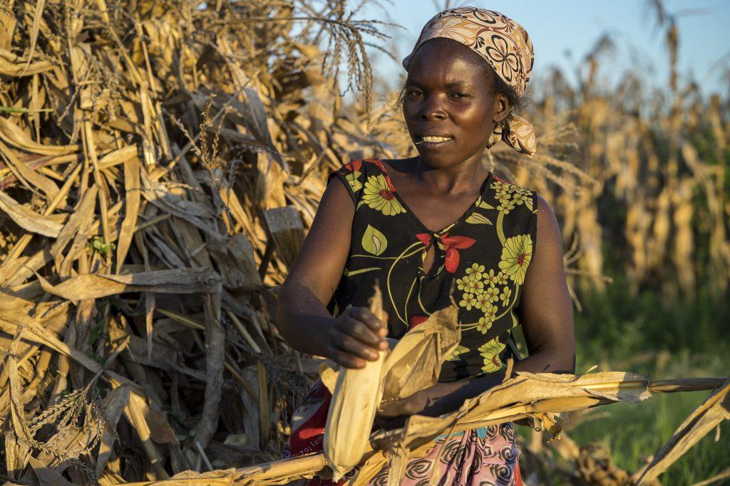 Farmer Agnes Sendeza harvests maize cobs in Malawi. (Photo: Peter Lowe/CIMMYT)