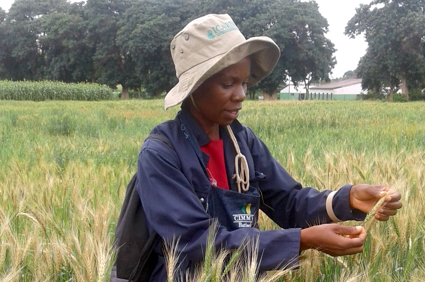 Researchers from ZARI check for wheat blast in experimental plots. (Photo: Batiseba Tembo/ZARI)