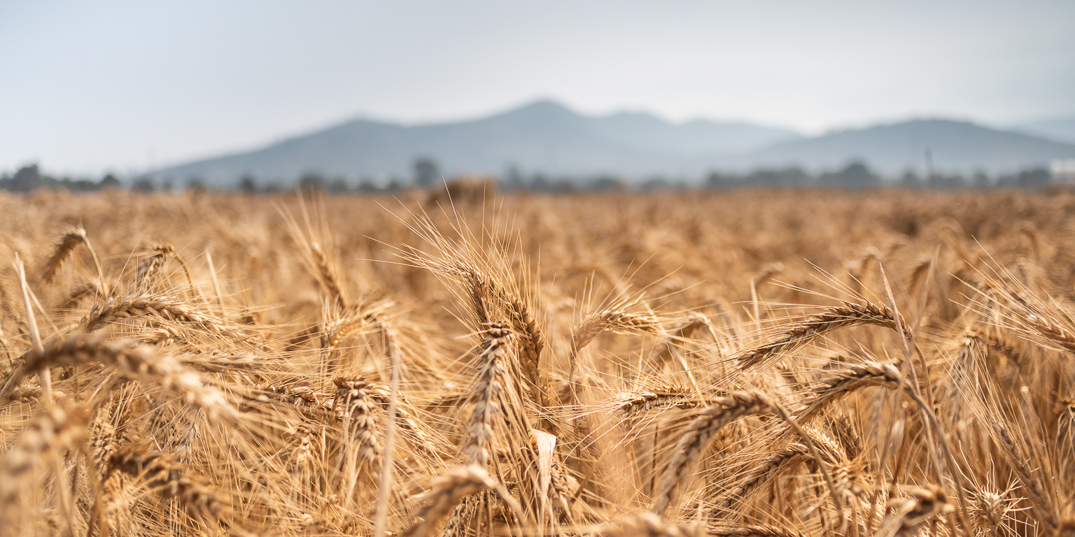 A new study analyzing the diversity of almost 80,000 wheat accessions reveals consequences and opportunities of selection footprints. (Photo: Eleusis Llanderal/CIMMYT)