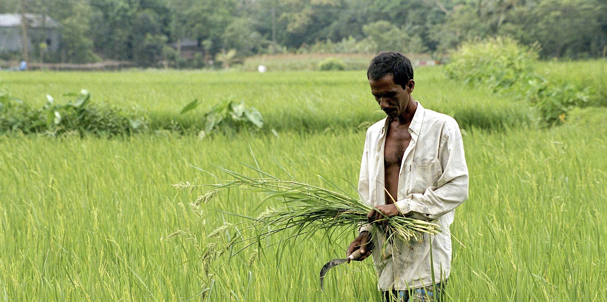 A rice farmer in central Bangladesh tends to his crop. (Photo: Scott Wallace/World Bank)
