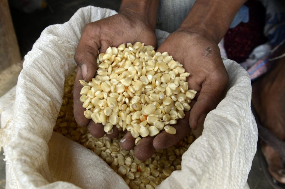 Person holding maize seed.
