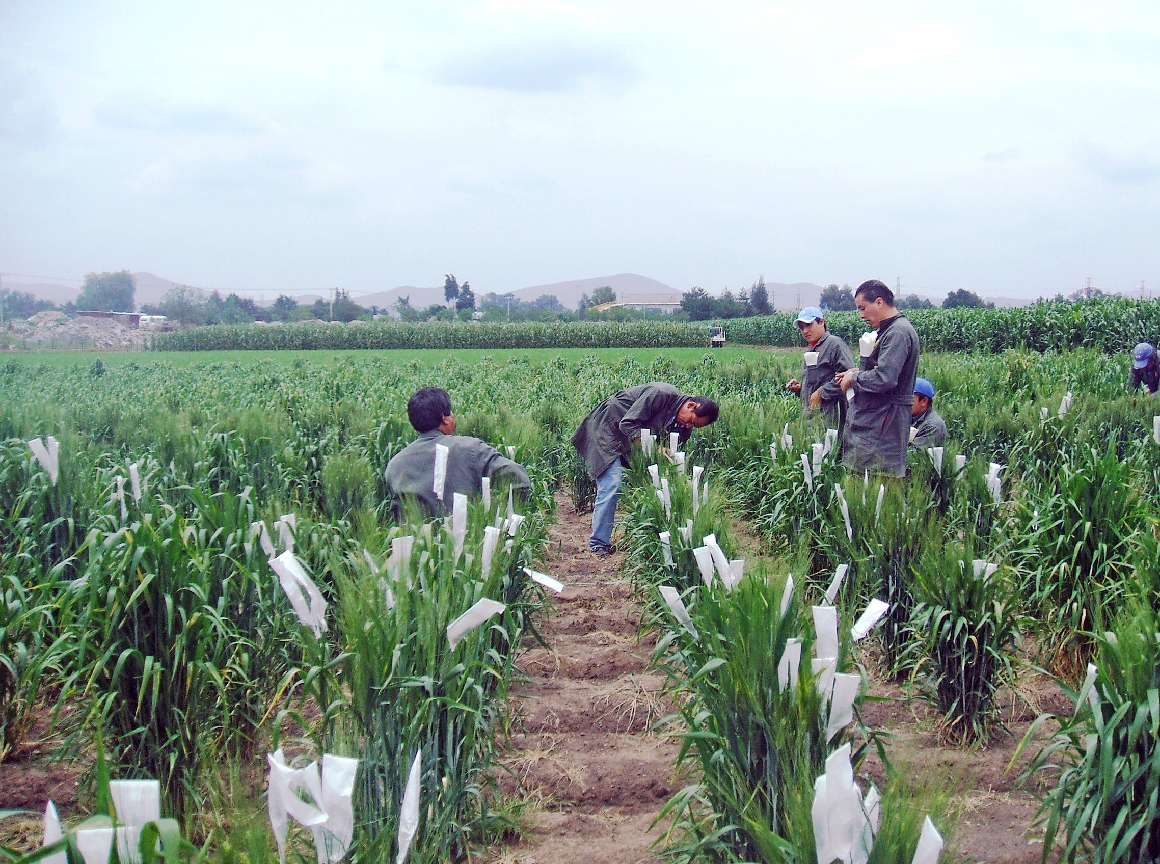CIMMYT field workers working on wheat crossing as part of the breeding process.