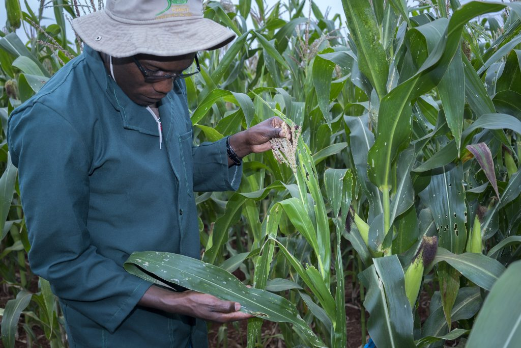 A CIMMYT research associate inspects maize damaged by fall army worm at KALRO Kiboko Research Station in Kenya. (Photo: Peter Lowe/CIMMYT)