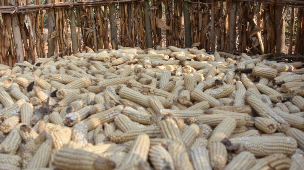 Harvested maize cobs are exposed to the elements in an open-air storage unit in Ethiopia. (Photo: Simret Yasabu/CIMMYT)