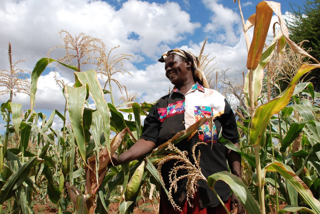 A community-based seed producer in Kiboko, Kenya, inspects her crop of drought-tolerant maize. (Photo: Anne Wangalachi/CIMMYT)