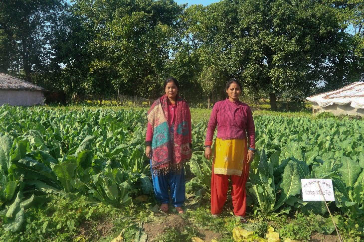 Dharma Devi Chaudhary (right) stands next to her flourishing cauliflower crop in Kailali, Nepal. (Photo: Uttam Kunwar/CIMMYT)