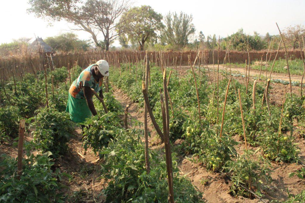 Prudence Nyanguru tends to her thriving tomato field in Nyanga, Zimbabwe. (Photo: Shiela Chikulo/CIMMYT)