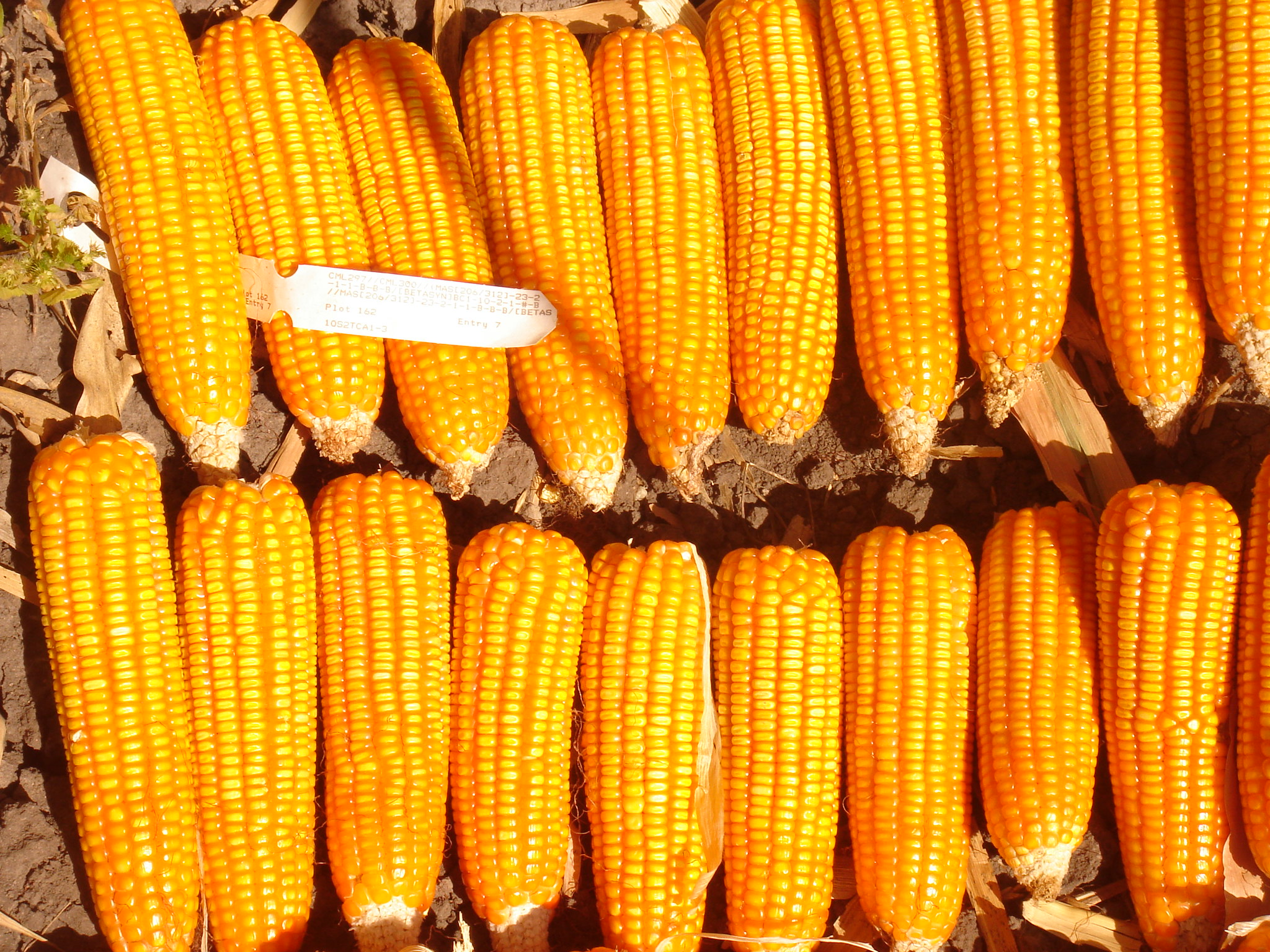 An experimental line of provitamin A-enriched orange maize is harvested in Zambia. (Photo: CIMMYT)