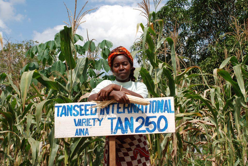 Una agricultora de Tanzania frente a su parcela de maíz en la que cultiva la variedad mejorada de maíz TAN 250, tolerante a la sequía. (Foto: Anne Wangalachi/CIMMYT)