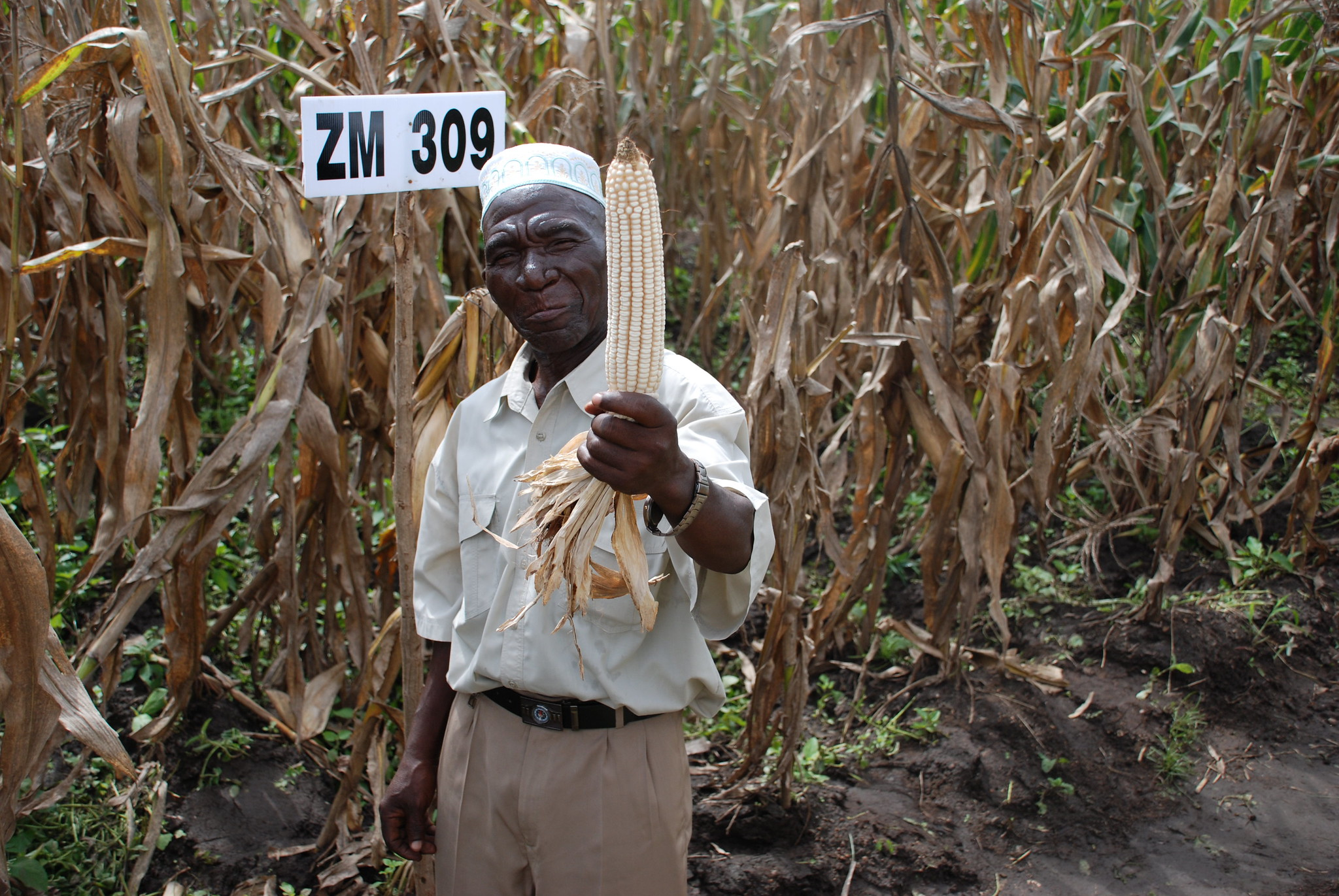 Farmer Bamusi Stambuli shows off a healthy ear of maize variety ZM 309 in Balaka, Malawi. (Photo: Anne Wangalachi/CIMMYT)