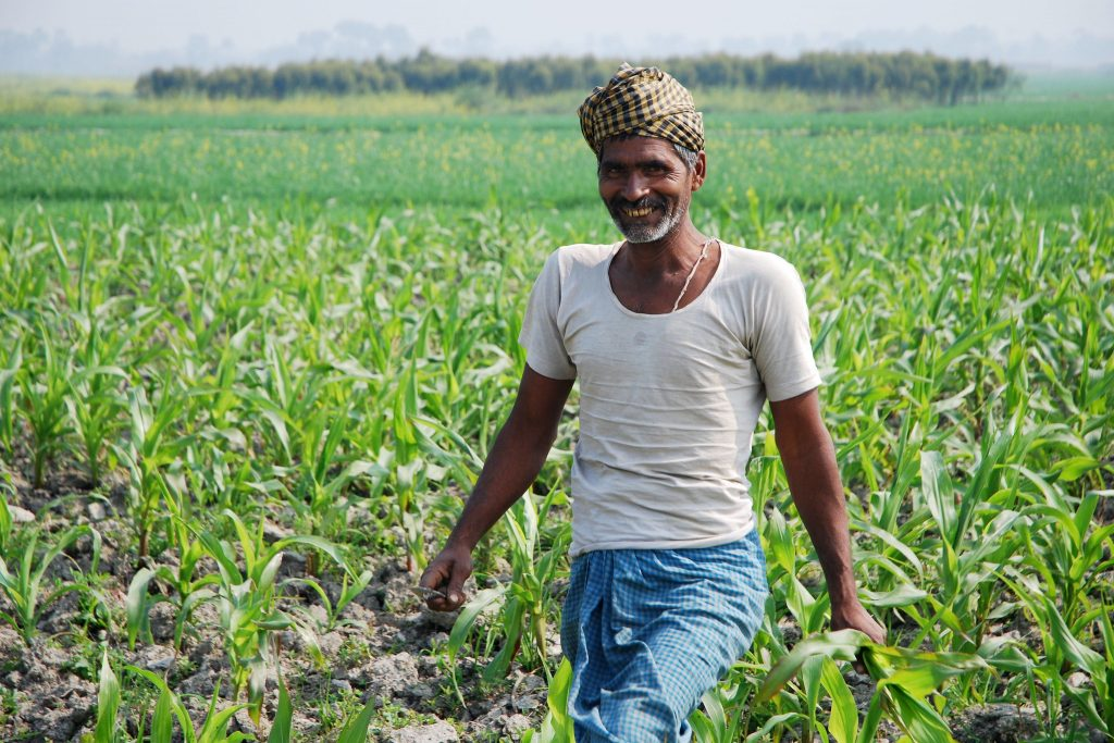A farmer works in a maize field close to the Pusa site of the Borlaug Institute for South Asia (BISA), in the Indian state of Bihar. (Photo: M. DeFreese/CIMMYT)