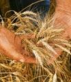 flagwheat