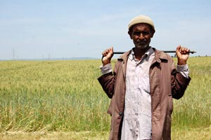 wheat-africa-3