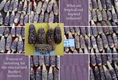 tropicalized-maize-haploid