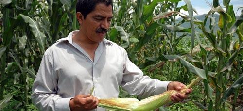 Mexican scientist and CIMMYT collaborator J. Arahón Hernández Guzmán examines a maize ear in Jala, Mexico. Photo courtesy of Eloise Phipps/CIMMYT