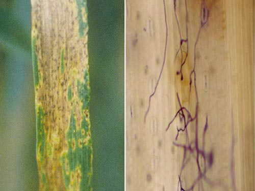 wheat-spot-blotch-disease