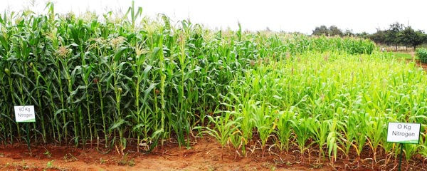 After water, nitrogen is the single most important input for maize production; lack of it is the principal constraint to cereal yields in Africa, in areas with adequate rainfall. An illustration of that importance, this photo shows the very different response of the same maize variety to zero versus 80 kilograms of nitrogen fertilizer on an experiment station plot.