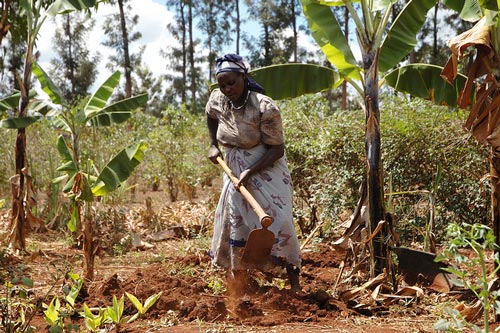 Smallholder farmer prepares maize plot for planting with CIMMYT improved varieties, Embu, Kenya. Photo: CIMMYT