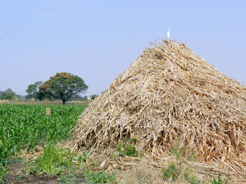 Maize stover is dumped in a field for use as a cooking fuel.