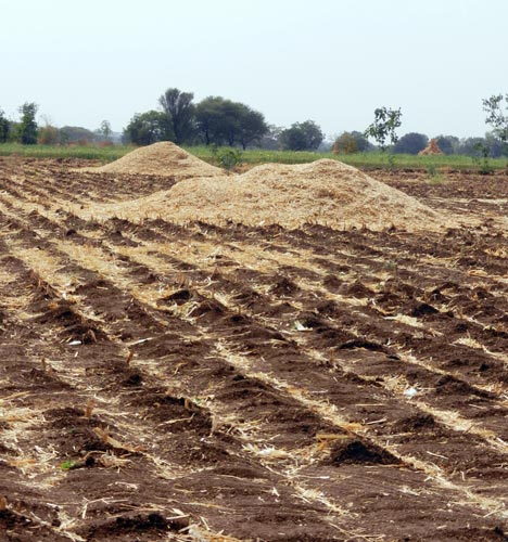 Maize-stover-roughly-chopped-and-spread-in-the-field-as-residue
