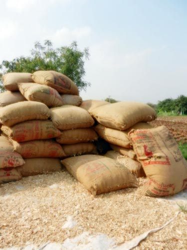 Processed stover can be used as fodder for dairy cattle. Photos: P.H. Zaidi