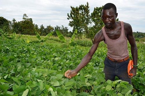 Julius Ong'ayi of Boro Farmers Innovation Platform in Siaya county, Kenya, tends to legumes on his farm. Photos: Michael Arunga