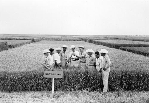 Norman Borlaug (fourth right) in the field showing a plot of Sonora-64, one of the semi-dwarf, high-yield, disease-resistant varieties that was key to the Green Revolution, to a group of young international trainees, at what is now CIMMYT's CENEB station (Campo Experimental Norman E. Borlaug, or The Norman E. Borlaug Experiment Station), near Ciudad Obregón, Sonora, northern Mexico. Photo credit: CIMMYT.