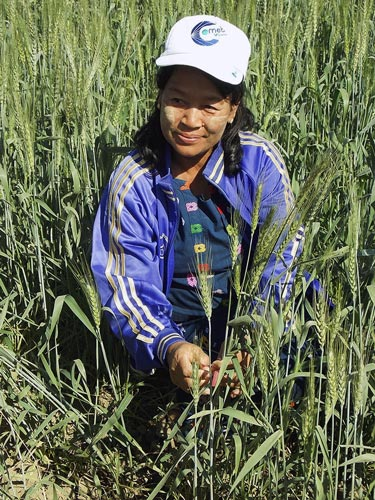 Aye Aye Win, Senior Researcher at Zaloke Research Farm in Mongwa, was the last CIMMYT GWP trainee from Myanmar in Mexico (2002) and is currently the only wheat breeder in the country. Photos: Fabiola Meza/CIMMYT