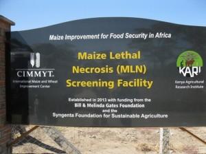 CIMMYT–KALRO MLN screening facility at KALRO's premises in Naivasha, Kenya.